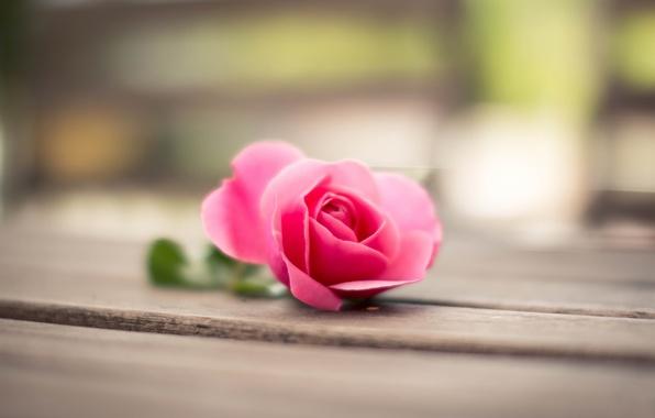 Картинка цветок, макро, розовая, Роза, лепестки, боке
