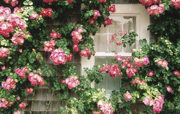 Картинка Окно, цветочная стена, красотища