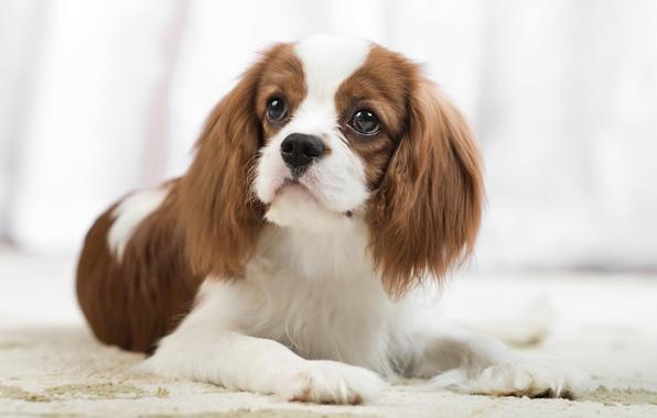 Картинка взгляд, портрет, собака, спаниель, Кавалер кинг чарльз спаниель