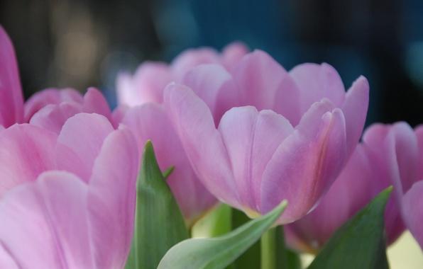 Картинка макро, цветы, тюльпан, весна, тюльпаны, лепестки. розовые