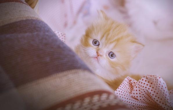 Картинка взгляд, рыжий, мордочка, котёнок, персидская кошка