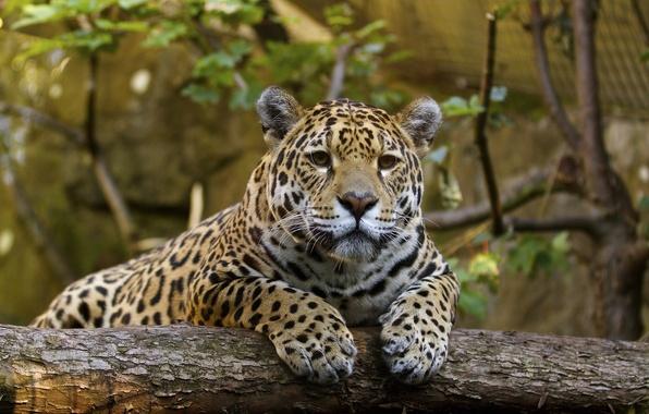 Картинка морда, отдых, хищник, лапы, ягуар, дикая кошка, зоопарк