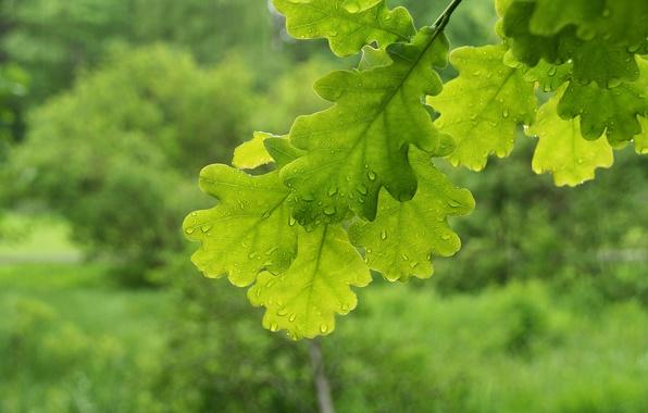 Картинка макро, ветки, листва, зеленые, дуб