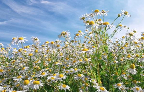 Картинка поле, небо, трава, цветы, ромашки, много
