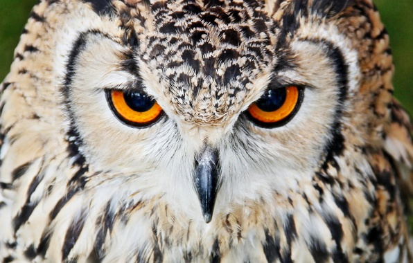Картинка взгляд, сова, птица, портрет, хищник
