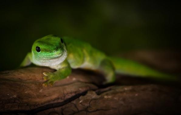 Картинка макро, зеленый, дерево, ящерица, Madagascar day gecko, геккон дневной мадагаскарский