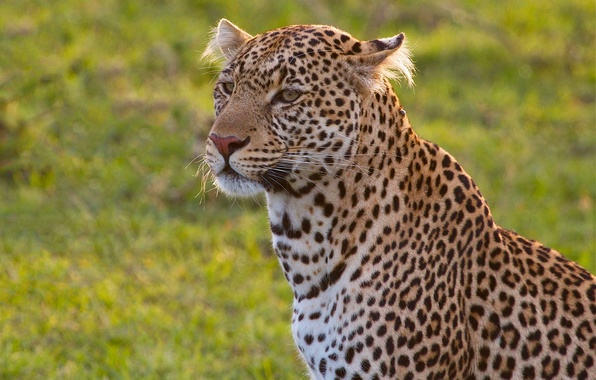 Картинка портрет, леопард, дикая кошка, красавец
