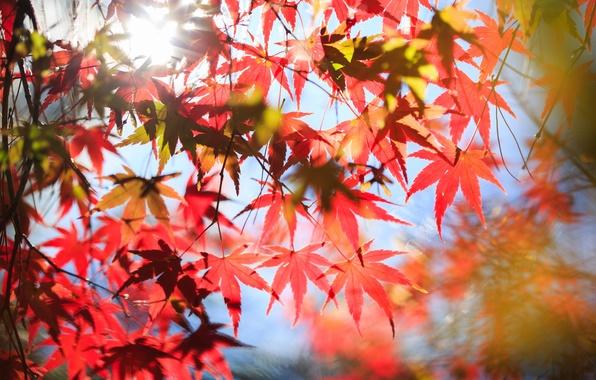 Картинка осень, листья, дерево, красные, клен, крона