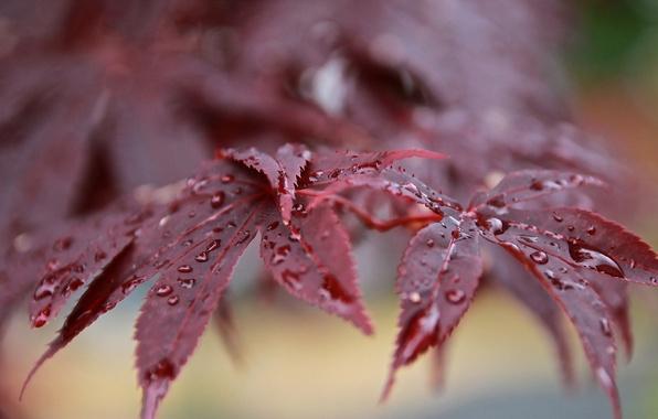 Картинка листья, капли, роса, ветка, после дождя, красные, боке, японский клен