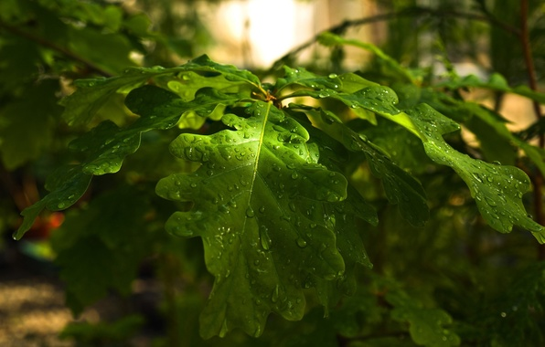 Картинка лес, листья, капли, природа, дерево, ветка, день, дуб, oak, might, strongh