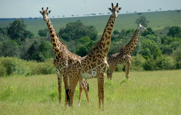 Картинка животные, пара, жирафы