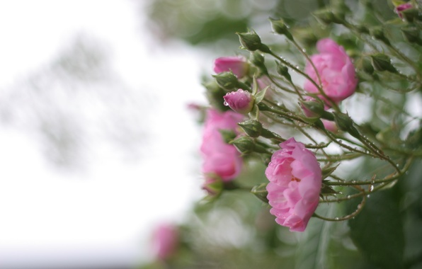 Картинка зелень, листья, вода, капли, макро, цветы, природа, дождь, куст, розы, лепестки, размытость, розовые