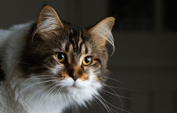 Картинка взгляд, темный фон, Кошка, мордочка, пушистая