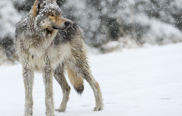Картинка снег, серый, волк, хищник, смотрит