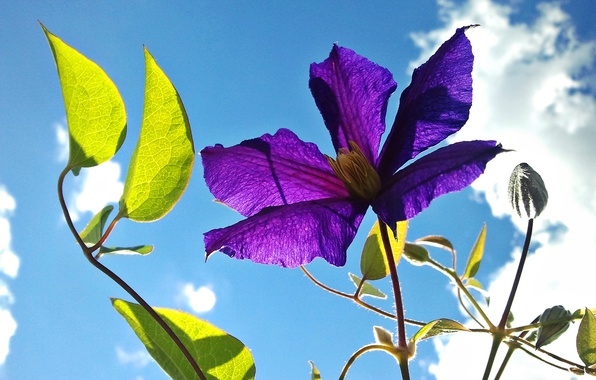 Картинка цветок, небо, листья, лепестки, клематис