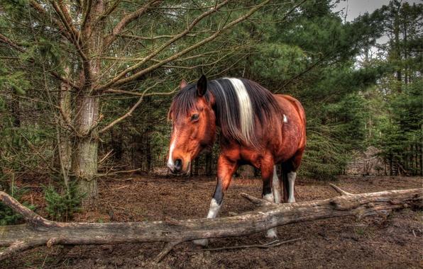 Картинка лес, морда, конь, лошадь, грива