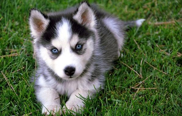 Картинка зелень, трава, глаза, мордочка, щенок, окрас, хаски, малыш. порода