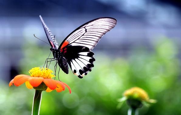 Картинка цветок, природа, бабочка, растение, крылья, насекомое, мотылек
