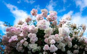 Картинка лето, небо, розы, summer, бутоны, кусты, sky, Roses