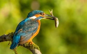 Картинка птица, рыба, ветка, добыча, зимородок