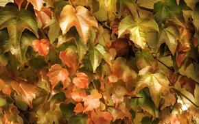 Обои заросли, плющ, листья