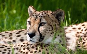 Обои взгляд, гепард, природа