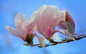 Обои цветки, макро, ветка, магнолия, бутон, цветение