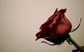 Картинка роза, лепестки, стебель