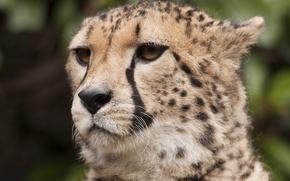 Картинка усы, взгляд, морда, хищник, гепард