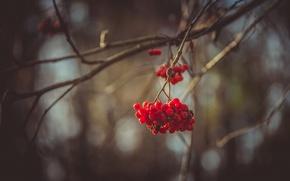 Картинка осень, лес, листья, деревья, природа, ягоды, пасмурно, рябина, мрачно
