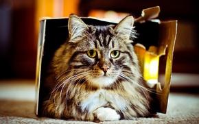 Картинка кошка, фон, коробка