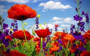 Обои poppy, field, wild flowers, маковое поле, маки