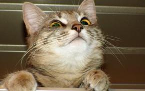 Обои кошка, взгляд, кошки, вверх, глаза, кот