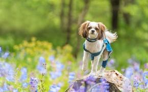 Картинка цветы, камень, собака, боке, Ши-тцу