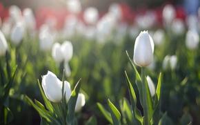Картинка солнце, весна, тюльпаны, белые, блик, клумба