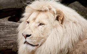 Картинка кошка, морда, грива, белый лев