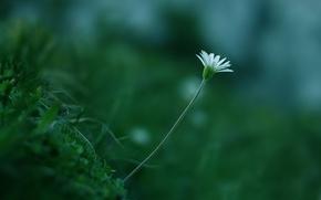 Обои макро, белый, растение, цветок, цвет, зелень, стебель, трава
