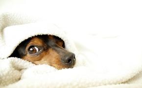 Картинка уют, собака, одеяло