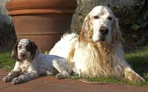 Картинка собаки, взгляд, щенок
