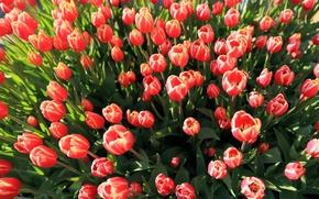 Картинка розовые, много, тюльпаны, бутоны
