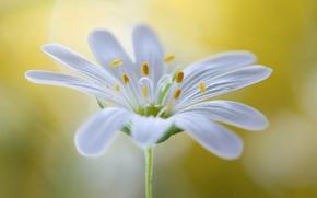 Картинка цветок, растение, лепестки, стебель, тычинки