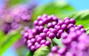 Картинка капельки, роса, блики, ягоды, сиреневые, боке, каликарпа, красивоплодник, калликарпа