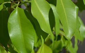 Картинка листья, природа, фикус