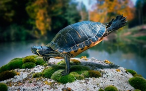 Картинка камень, мох, черепаха, танец, ninja turtle