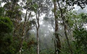 Картинка дождь, влага, сельва, тропический лес, mossy trees in mist