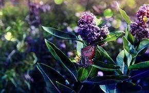 Картинка листья, ветки, бабочка, цветение, сирени