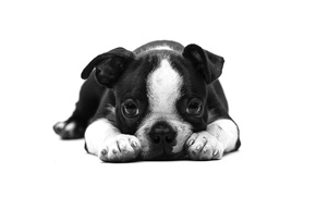 Картинка взгляд, друг, собака, щенок, английский бульдог