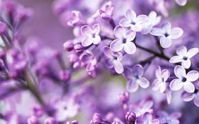 Обои макро, цветы, сиреневый, ветка, весна, лепестки, flowers, сирень, Syringa, Lilac