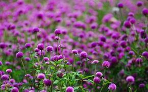 Картинка цветы, поляна, размытость, Фиолетовые