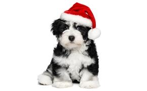 Картинка животные, красный, праздник, черно-белый, новый год, рождество, собака, милый, щенок, белый фон, Санта, обои от …